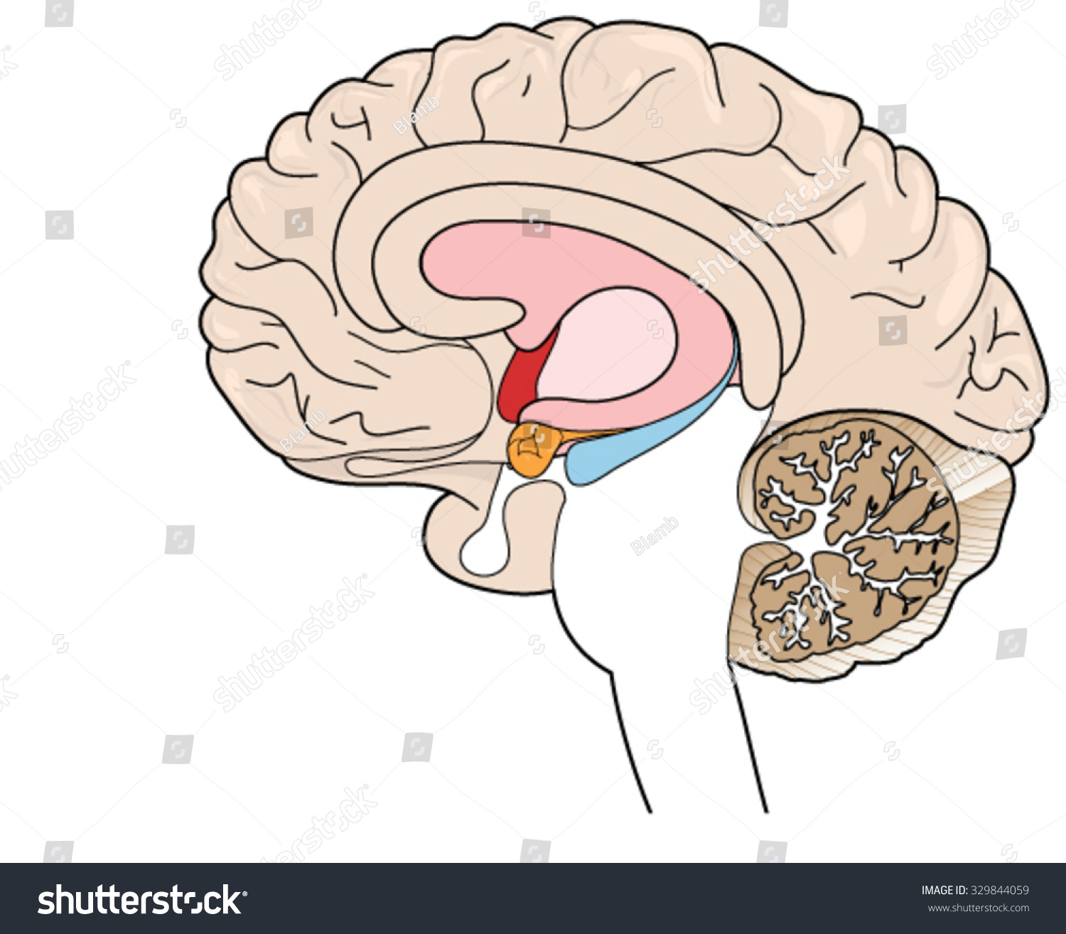 Brain Cross Section Showing Basal Ganglia Stock Vector 329844059