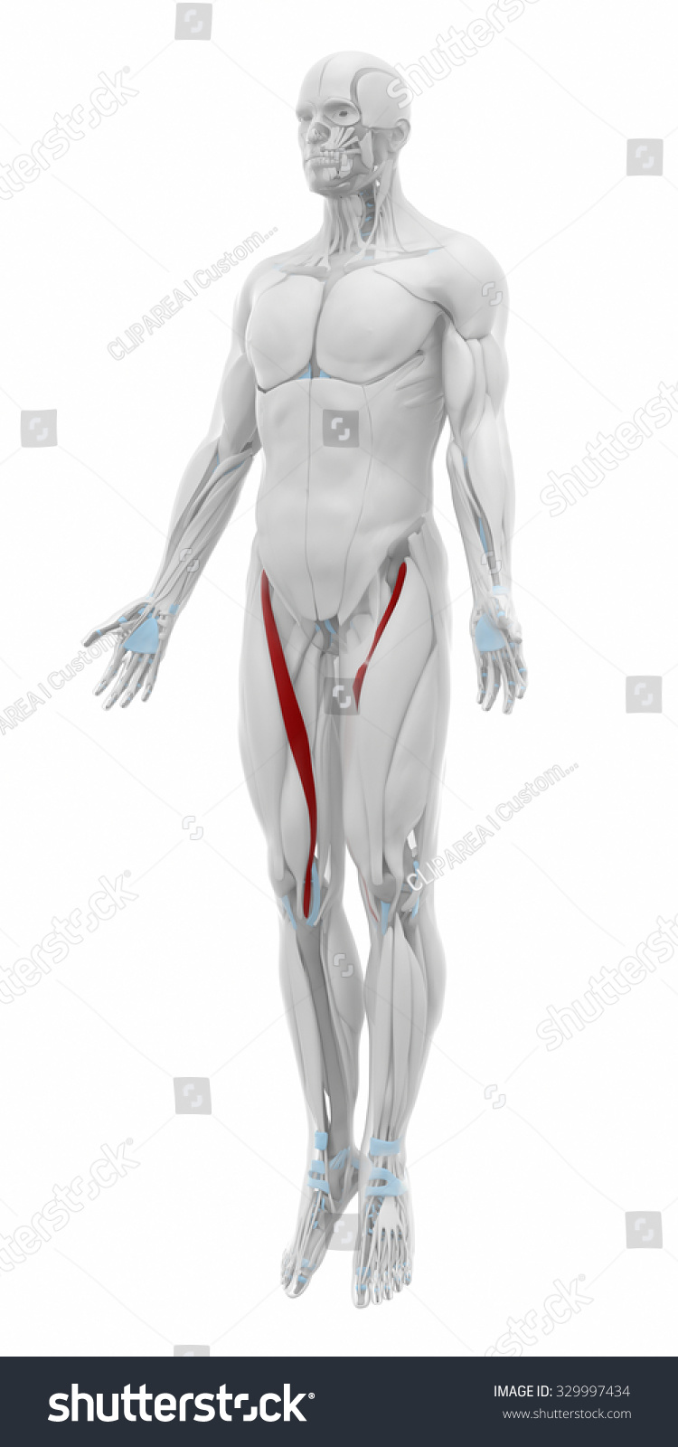 Sartorius Muscles Anatomy Map Stock Illustration Royalty Free
