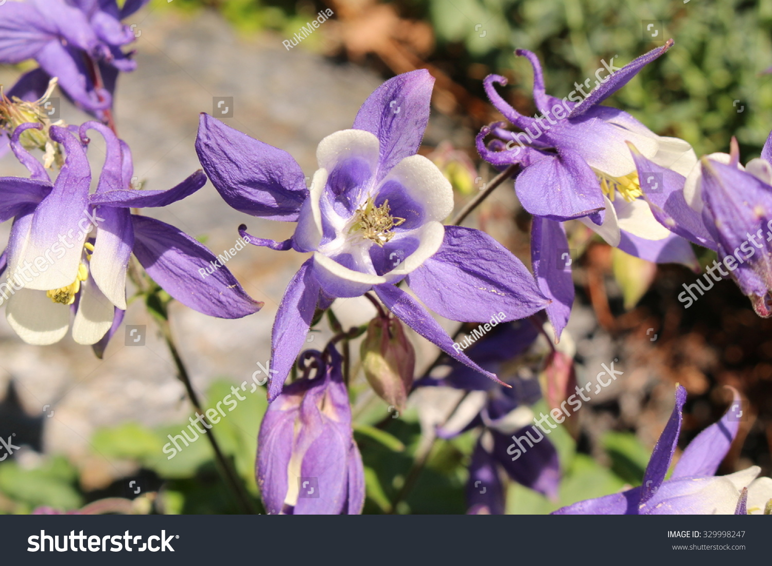 Royalty Free Blue And White Alpine Columbine 329998247 Stock