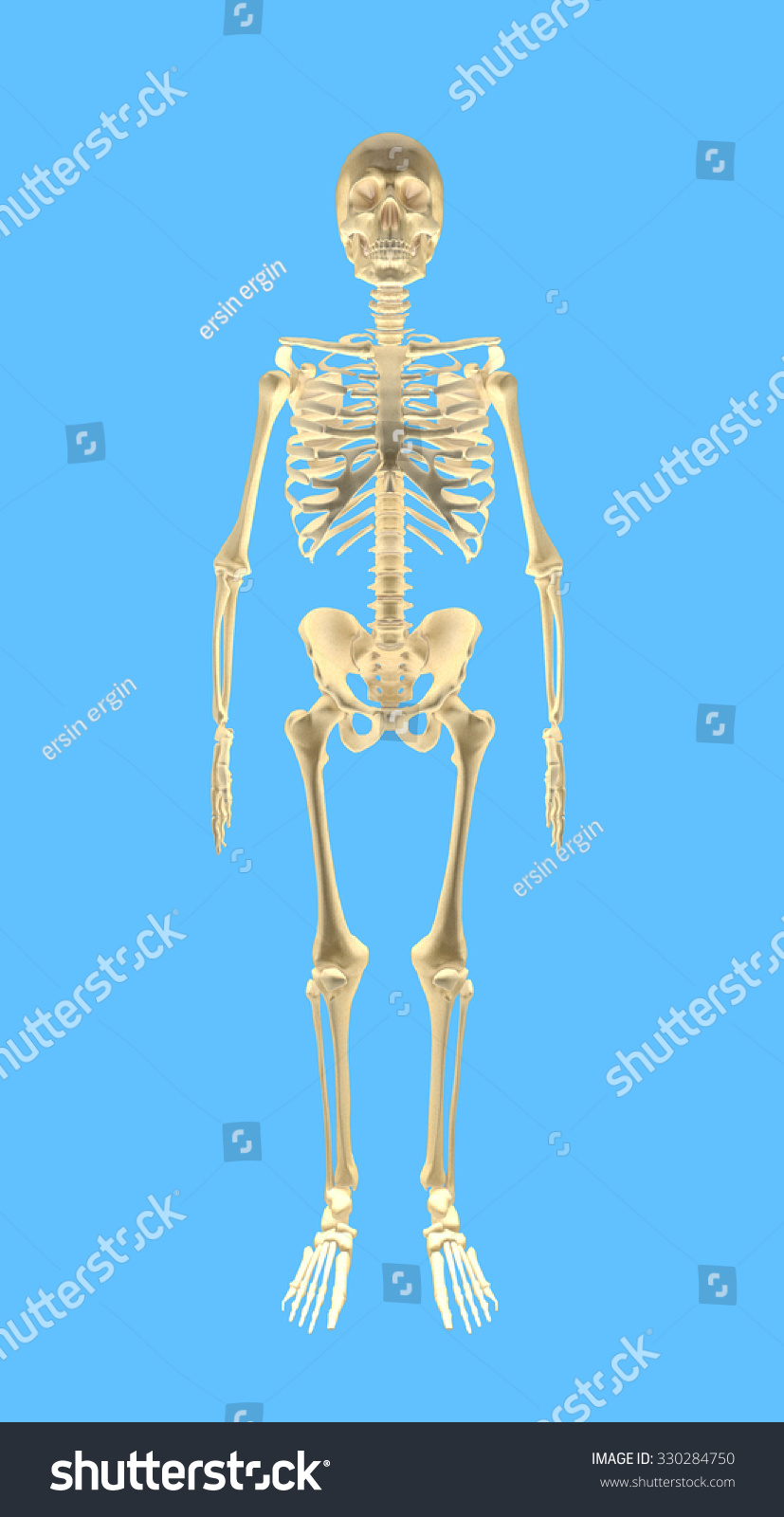 Human Bones Front Inclued Path Extract Stock Photo (Edit Now