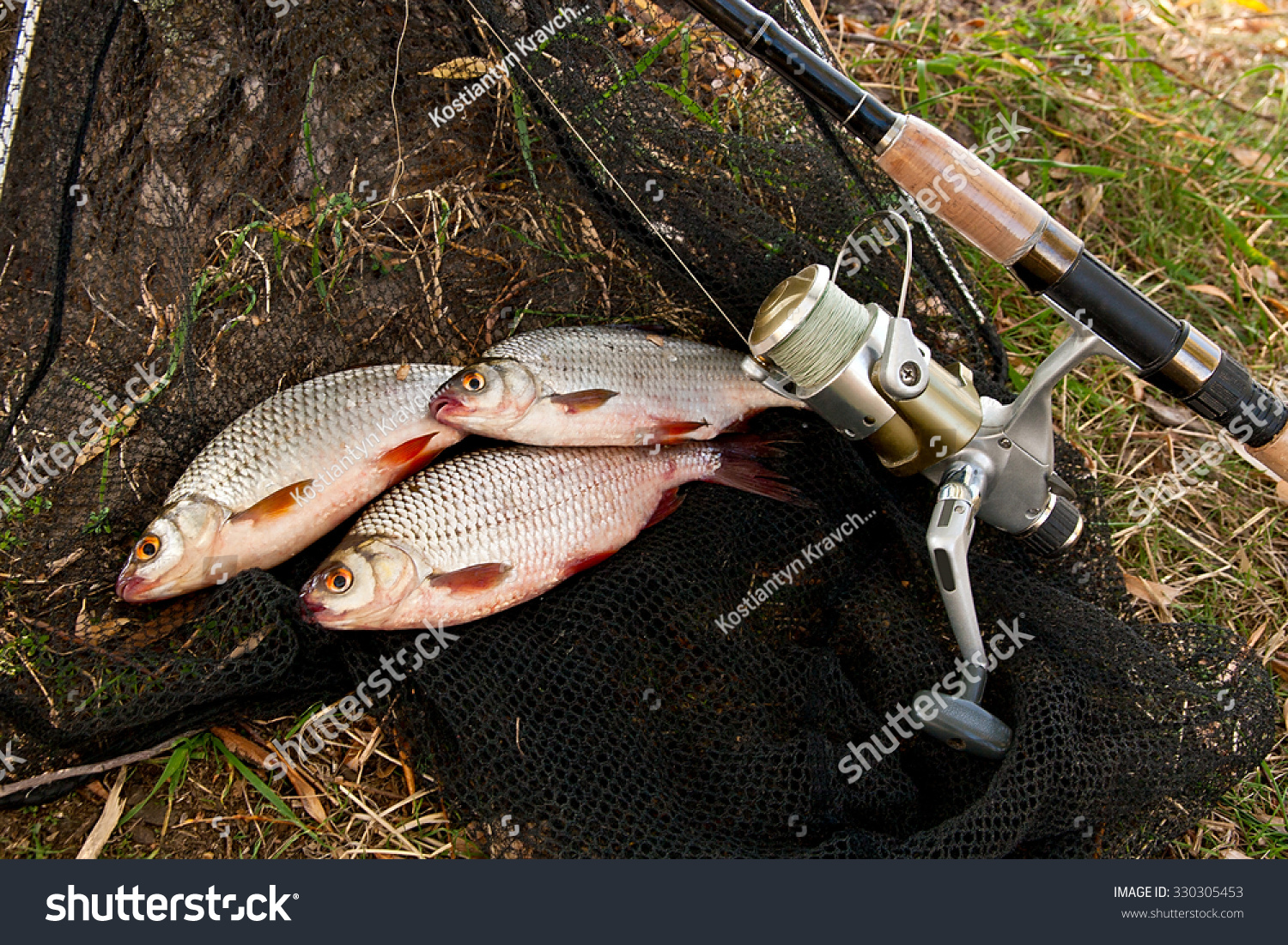 Freshwater fish bream - Roach Fish And Bream Freshwater Fish Just Taken From The Water Catching Freshwater Fish And