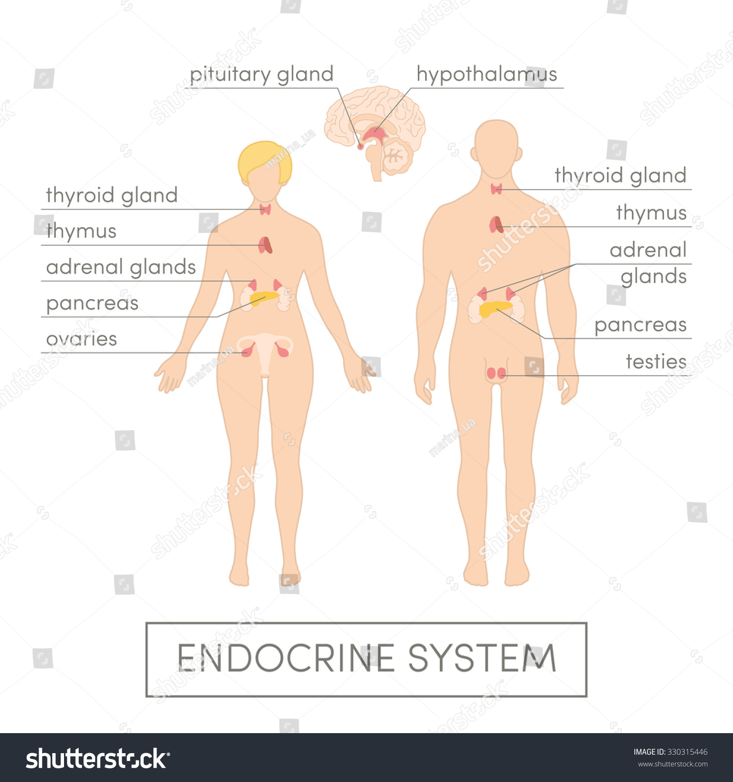 Endocrine System Human Cartoon Vector Illustration Stock Vector