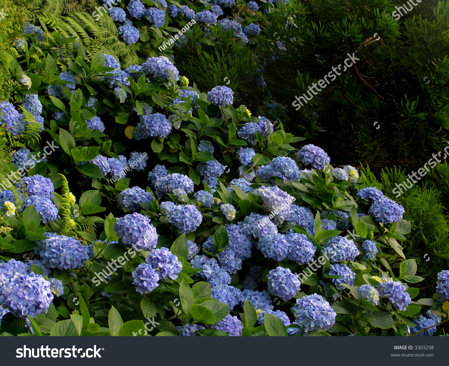 hortensia hydrangea macrophylla typical flower azores stock photo 3303298 shutterstock. Black Bedroom Furniture Sets. Home Design Ideas