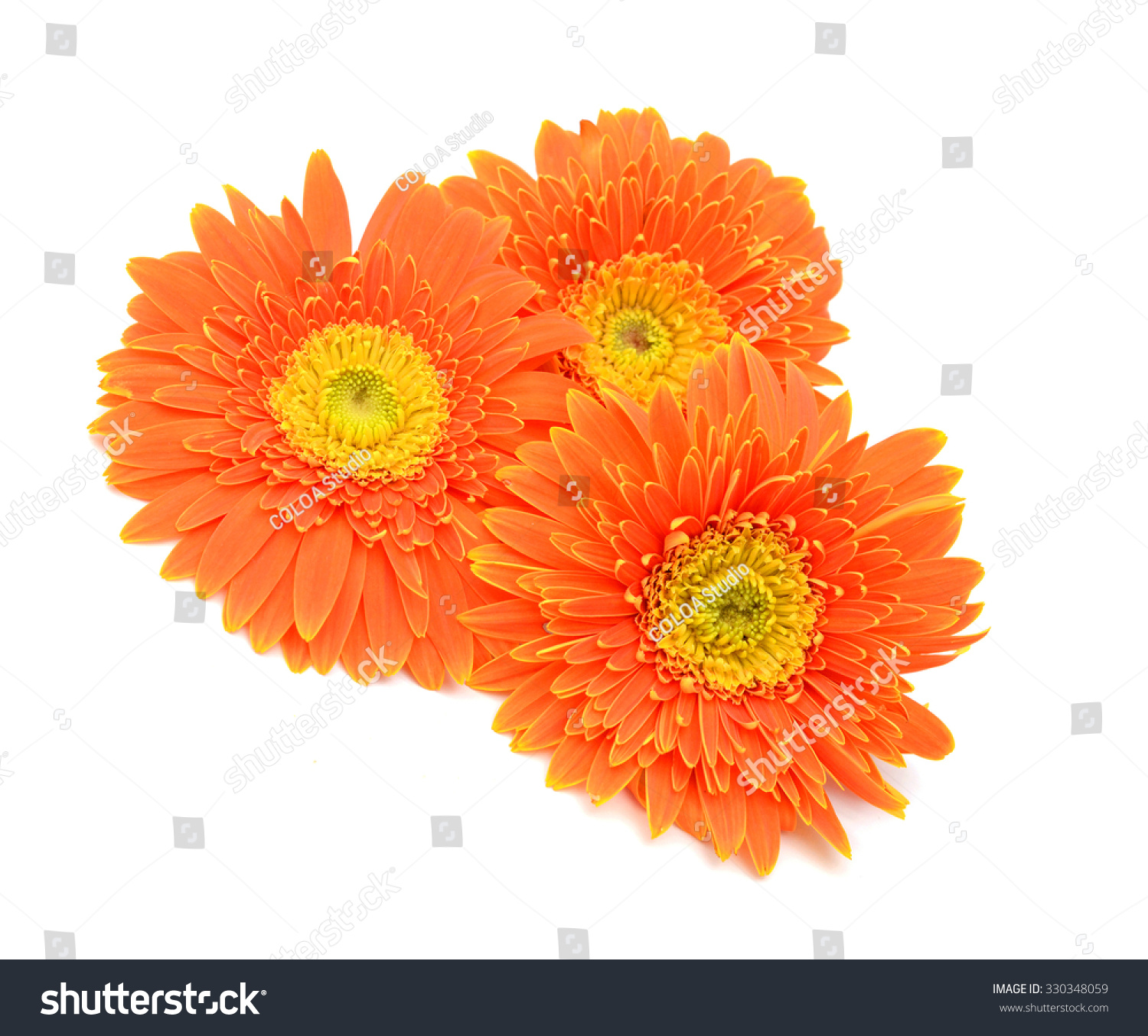 Gerber Flower Isolated On White Background Ez Canvas
