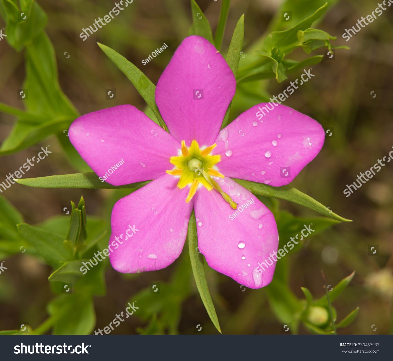 Sabatia Campestris Meadow Pink Texas Star Stock Photo Edit Now
