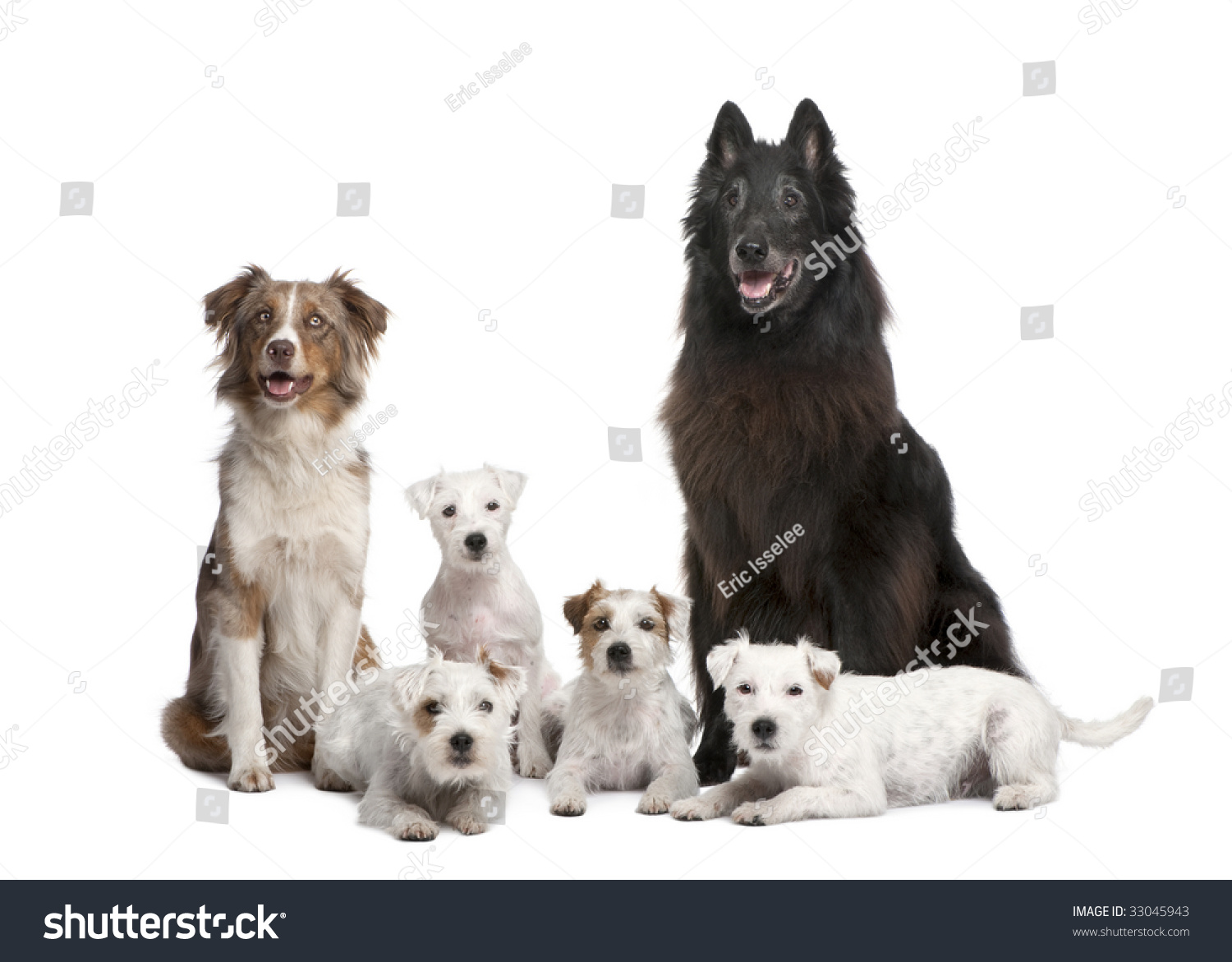 of 5 dogs; 4 Parson Russell Terrier, a Australian Shepherd and a mixed ...