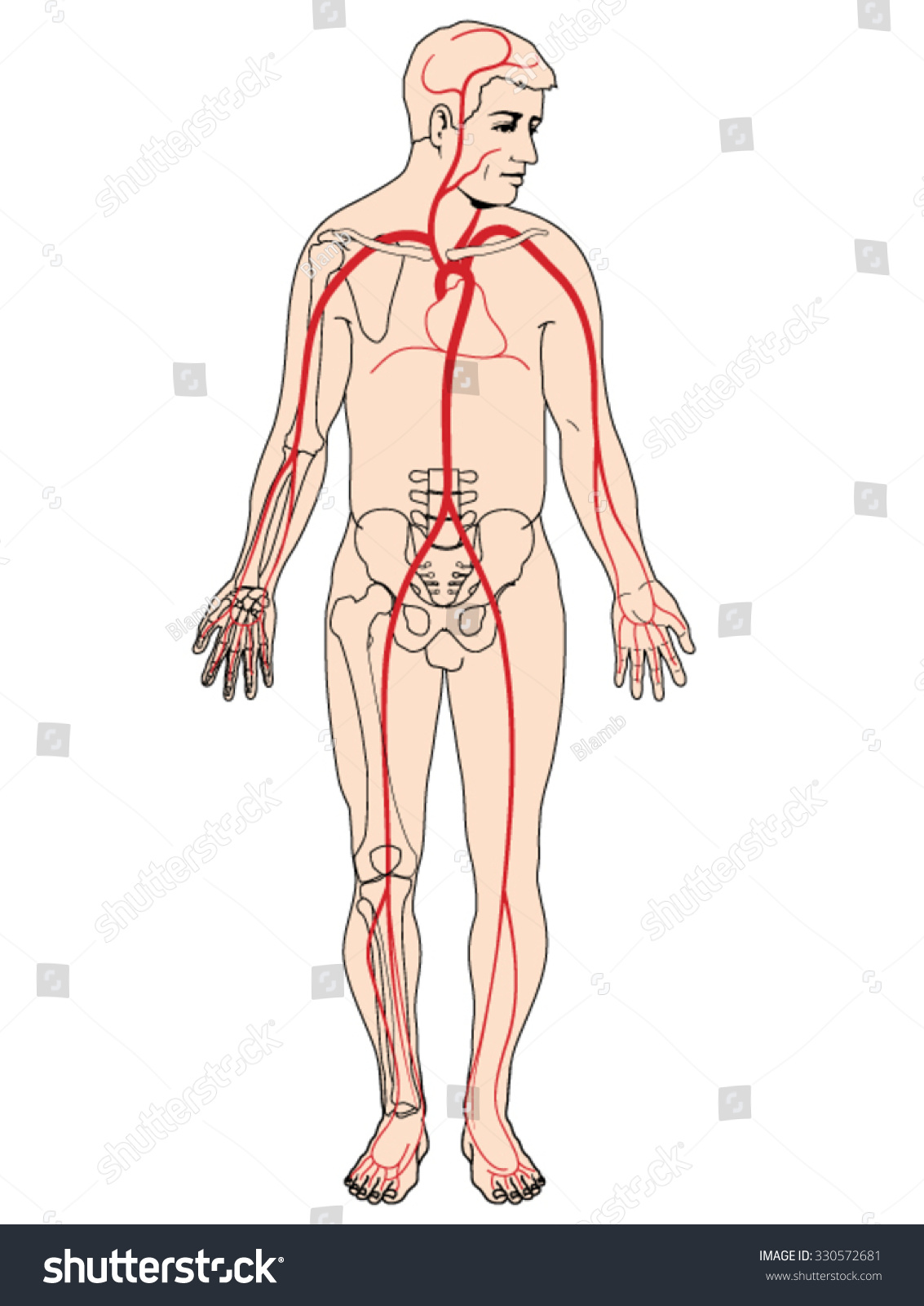 Major Arteries Pulse Points Head Arms Stock Vector 330572681 ...