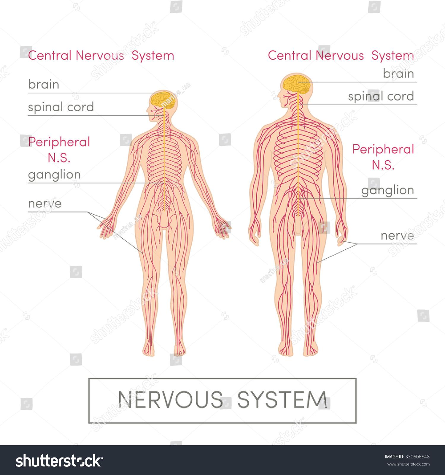 Nervous System Human Cartoon Vector Illustration Stock Vector ...