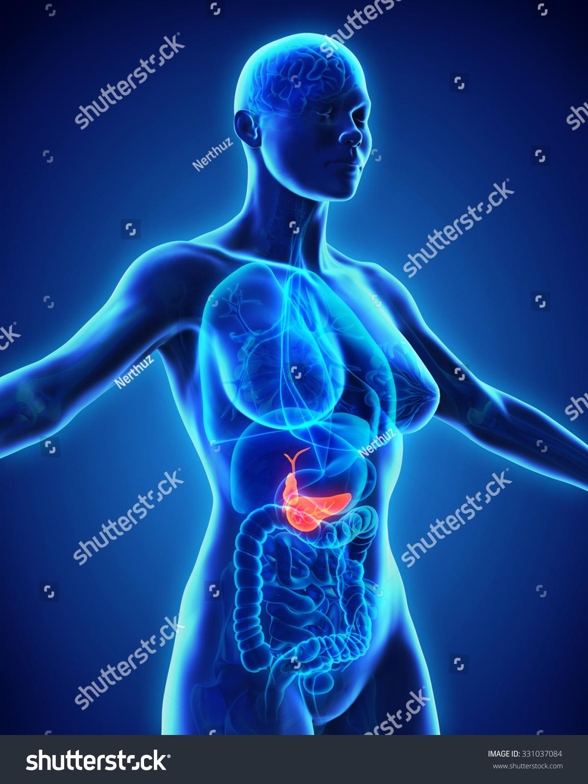 Human Gallbladder And Pancreas Anatomy Ez Canvas