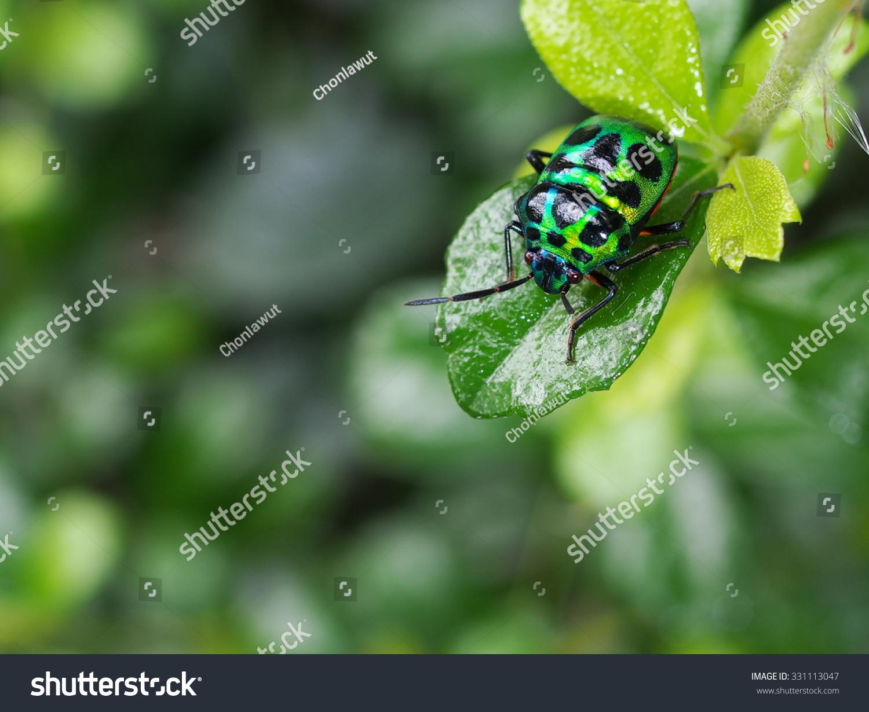 Yellow Green Bug Tropical Beetles Black Stock Photo (Edit Now) 331113047