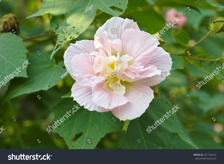 Autumn Flowers Series Pink Cotton Rose Stock Photo Edit Now