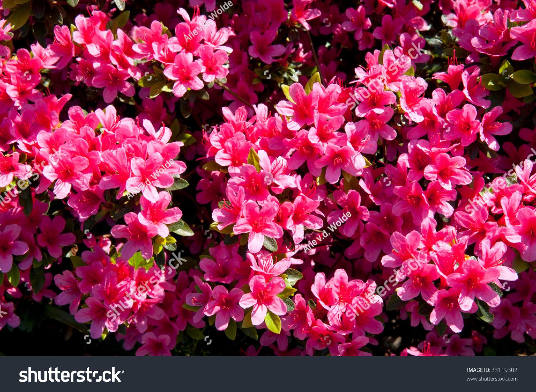 Pink Colored Azalea Plant Many Flowers Stock Photo Edit Now
