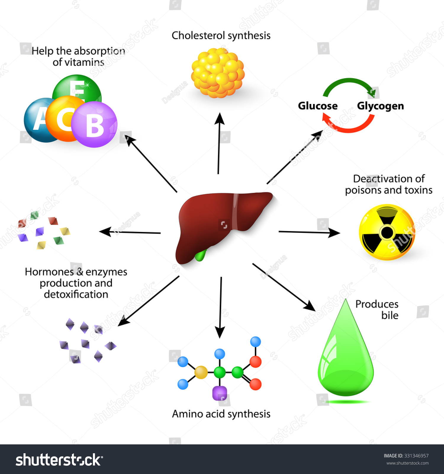Liver metabolism numerous functions human body vector de liver and metabolism with numerous functions in the human body including synthesis protein amino malvernweather Choice Image