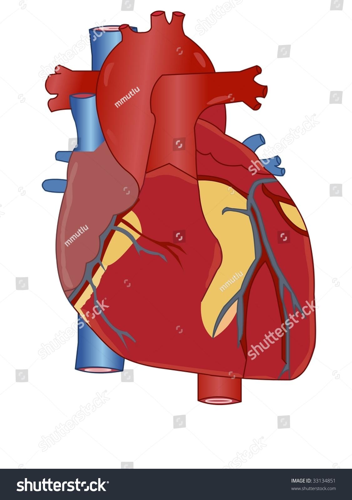 Reptile heart anatomy