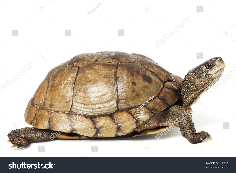 coahuilan box turtle terrapene coahuila isolated stock