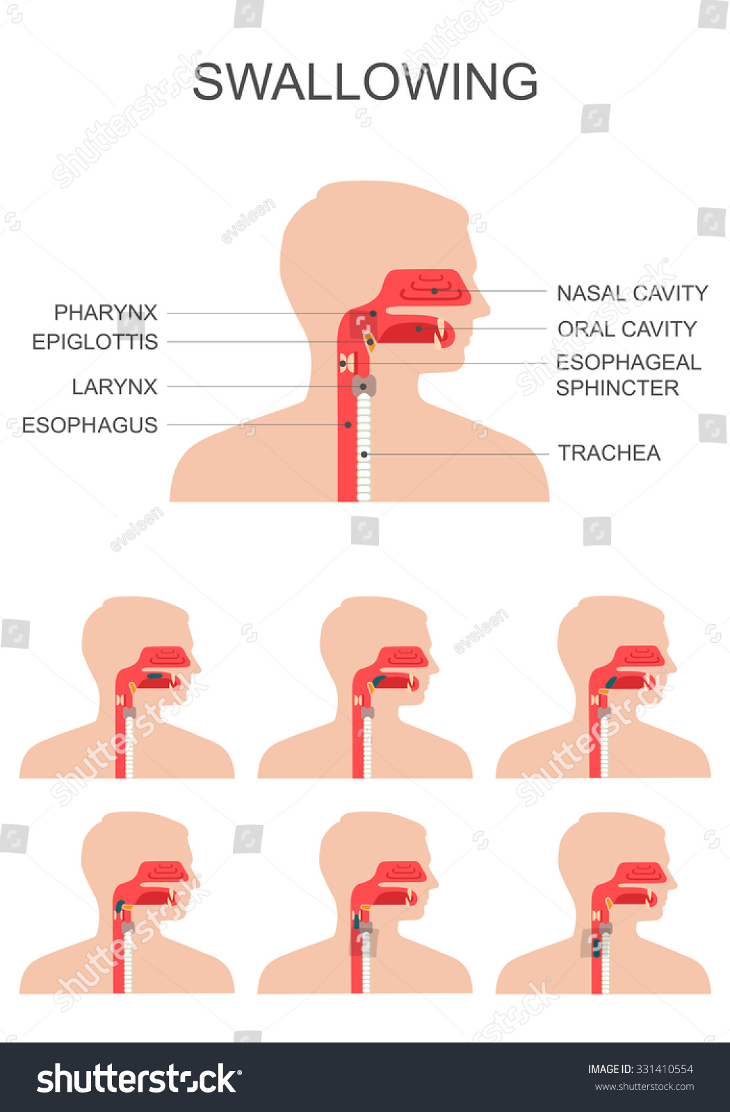 Swallowing Process Nose Throat Anatomy Medical Stock Vector