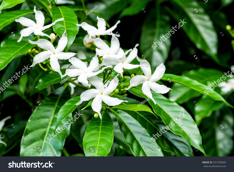 Royalty free white sampaguita jasmine or arabian 331559045 stock white sampaguita jasmine or arabian jasmine flowers blossom jasminum sambac l aiton izmirmasajfo