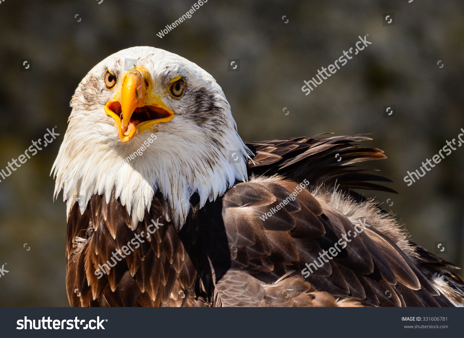 Funny Laughing Majestic Bald Eagle On Stock Photo Edit Now