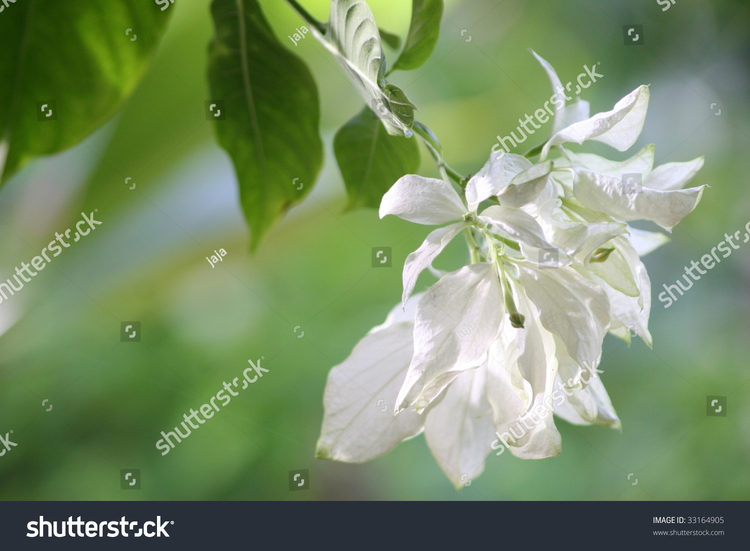 Closeup White Tropical Flower Hanging Tree Stock Photo Edit Now