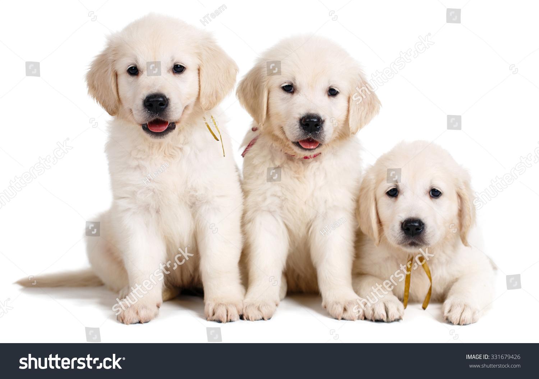 Three Small Cute Golden Retriever Puppy Stock