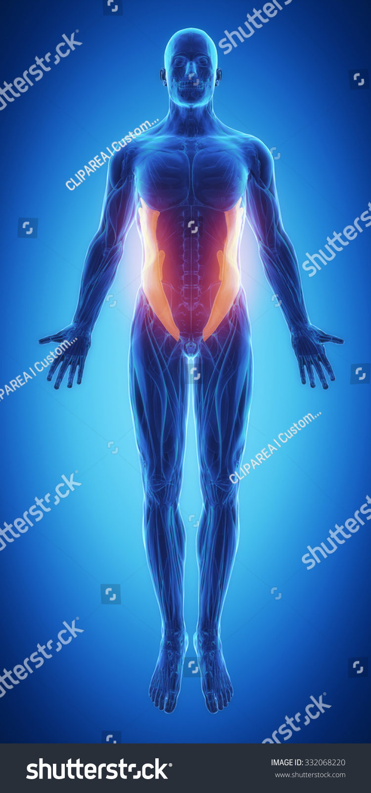 External Abdominal Oblique Blue Muscular Map Stock Illustration
