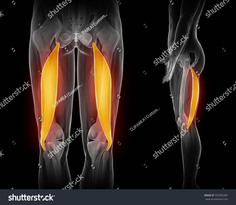 Bicep Femoris Muscle Anatomy Muscle Anatomy Stock Illustration