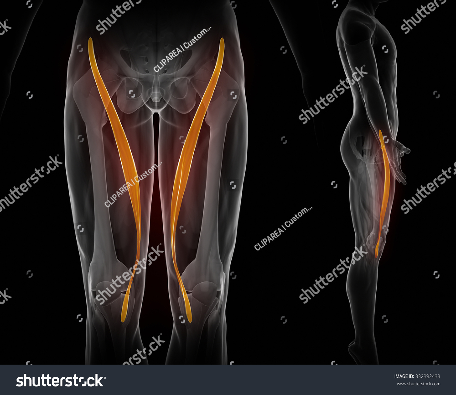 Royalty Free Stock Illustration Of Sartorius Muscle Anatomy