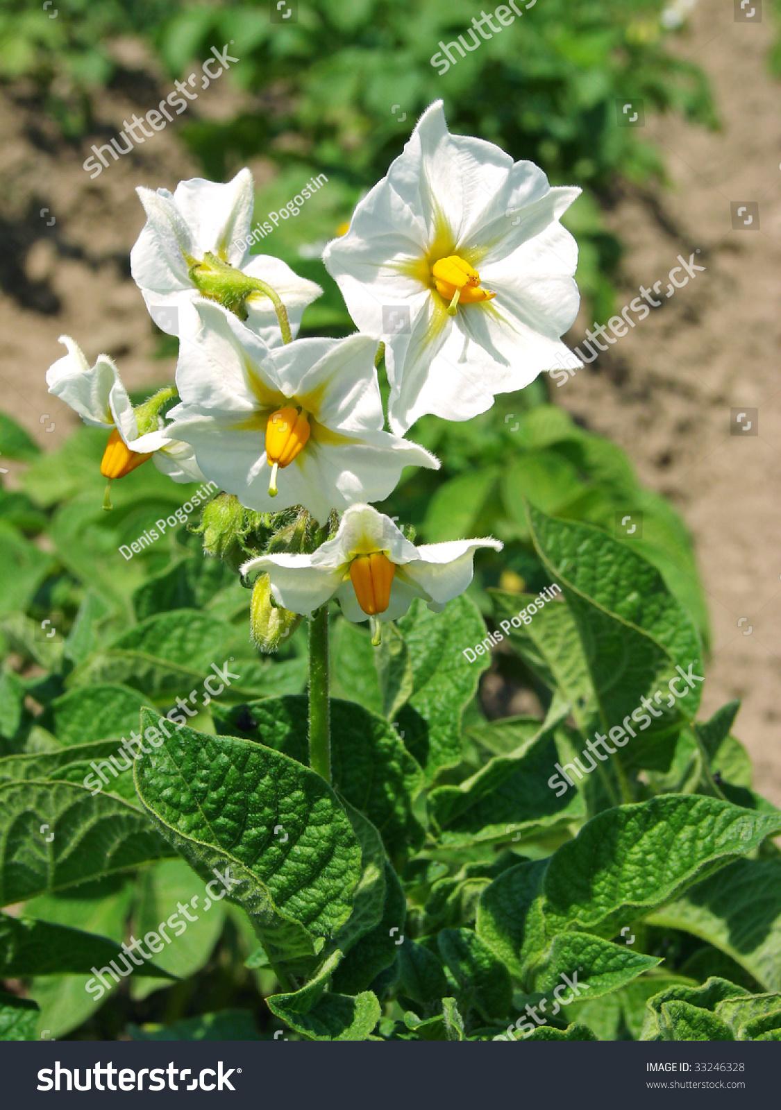 Potato plant white flowers on vegetable stock photo 100 legal potato plant with white flowers on the vegetable bed mightylinksfo