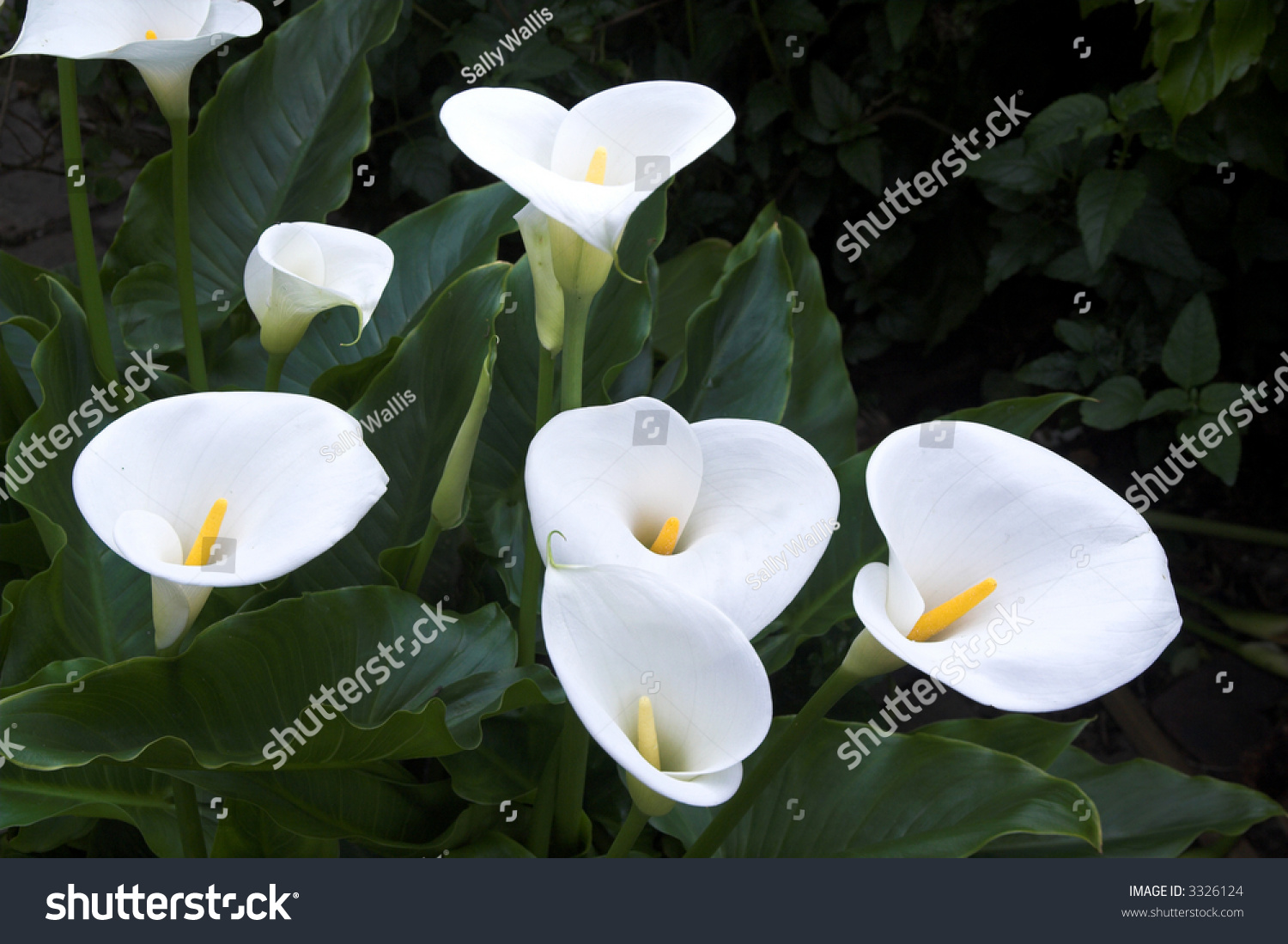 Calla lillies waxy white against background stock photo 3326124 calla lillies waxy and white against a background of dark green velvety leaves mightylinksfo