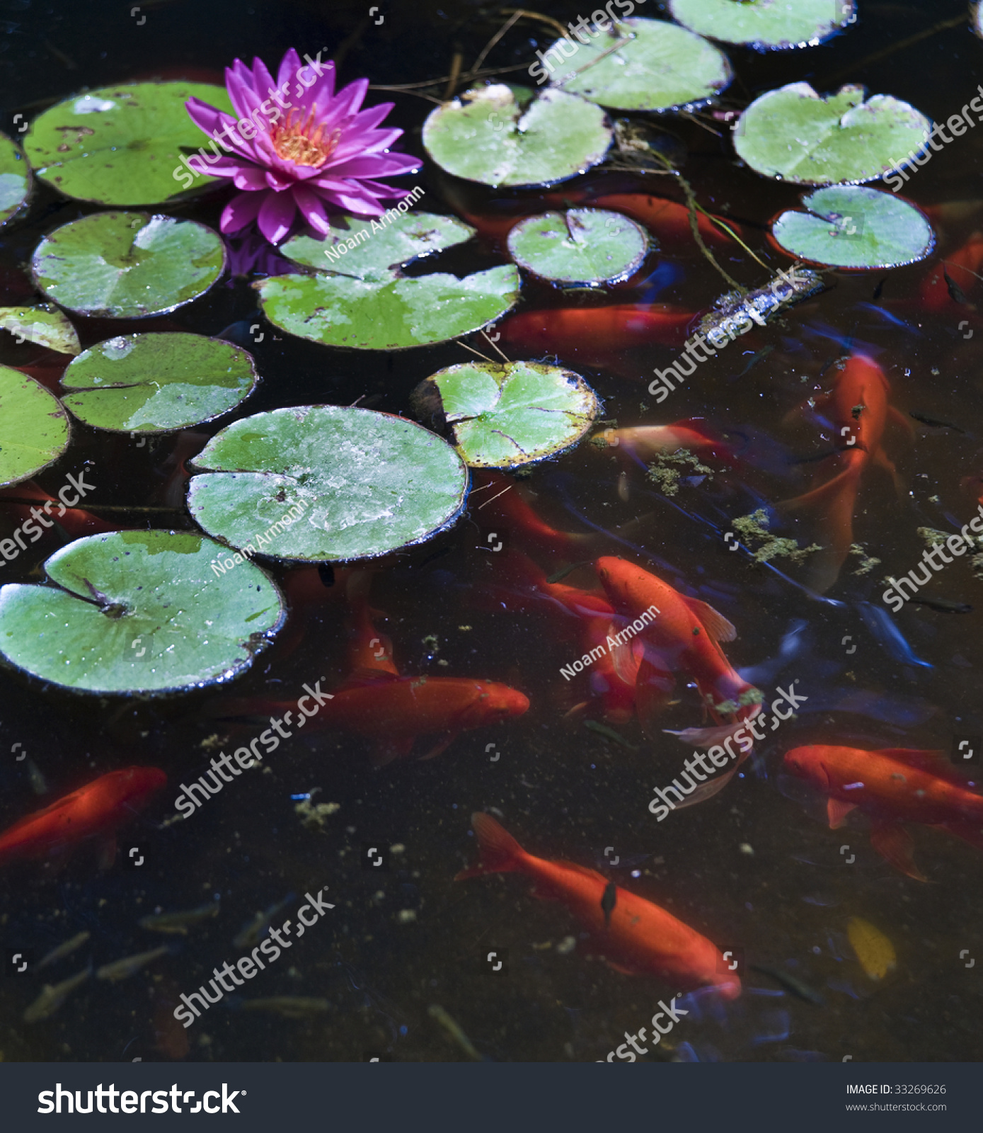 Koi or gold fish in a pond with a water lily stock photo for Pond size for koi