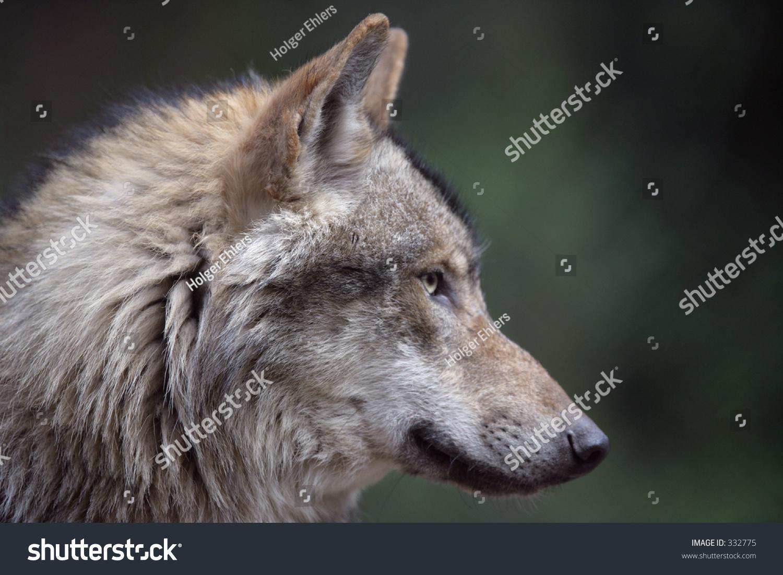 profile shot european wild wolf stock photo 332775