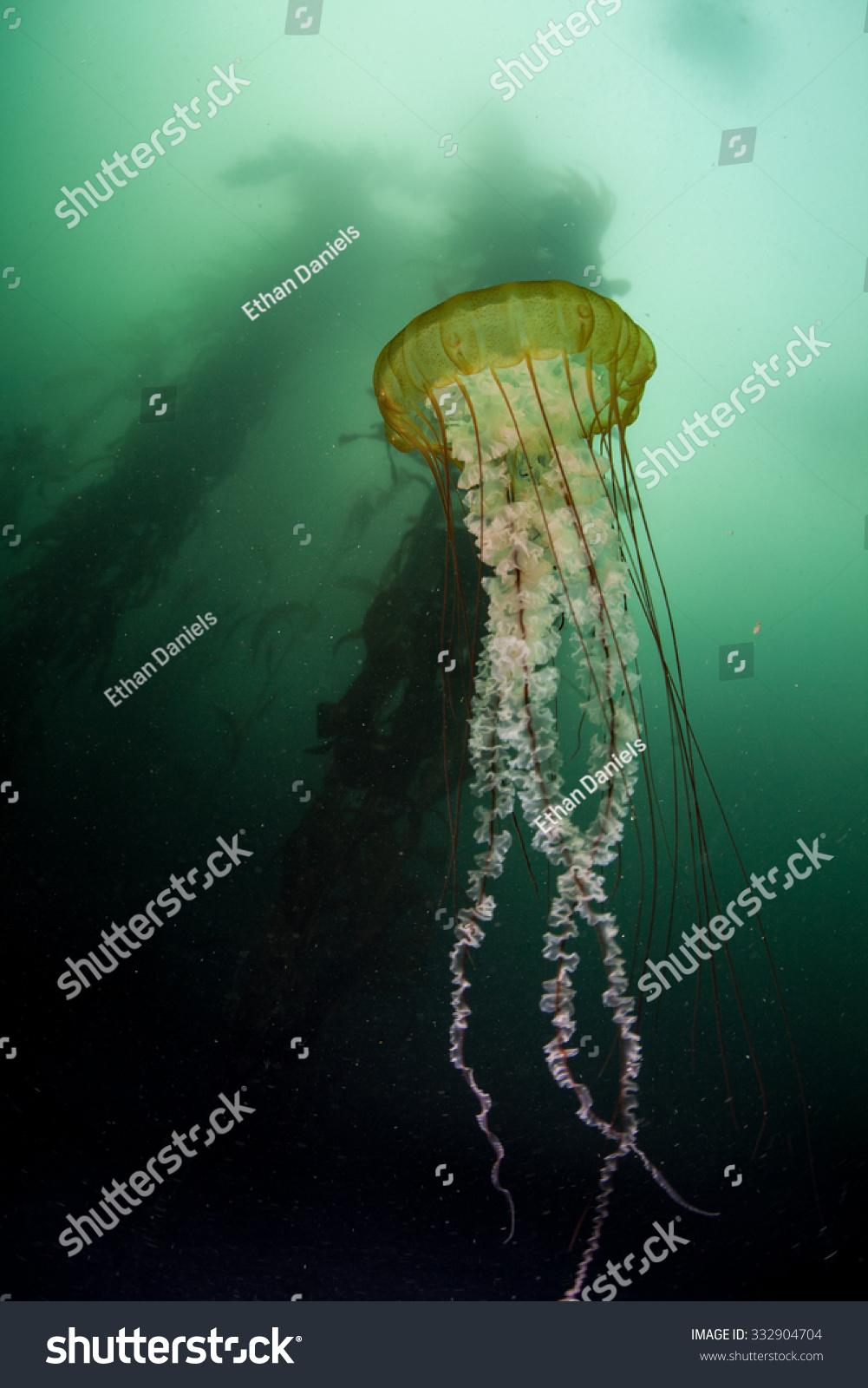 A Sea Nettle Jellyfish (Chrysaora Sp.) Pulses Near A Giant ...