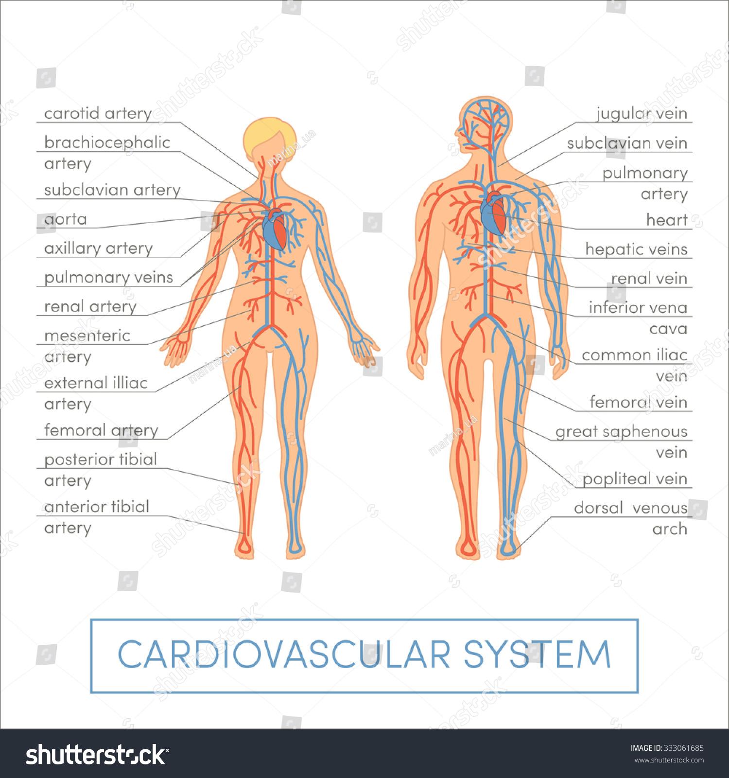 Cardiovascular System Human Cartoon Vector Illustration Stock Vector ...