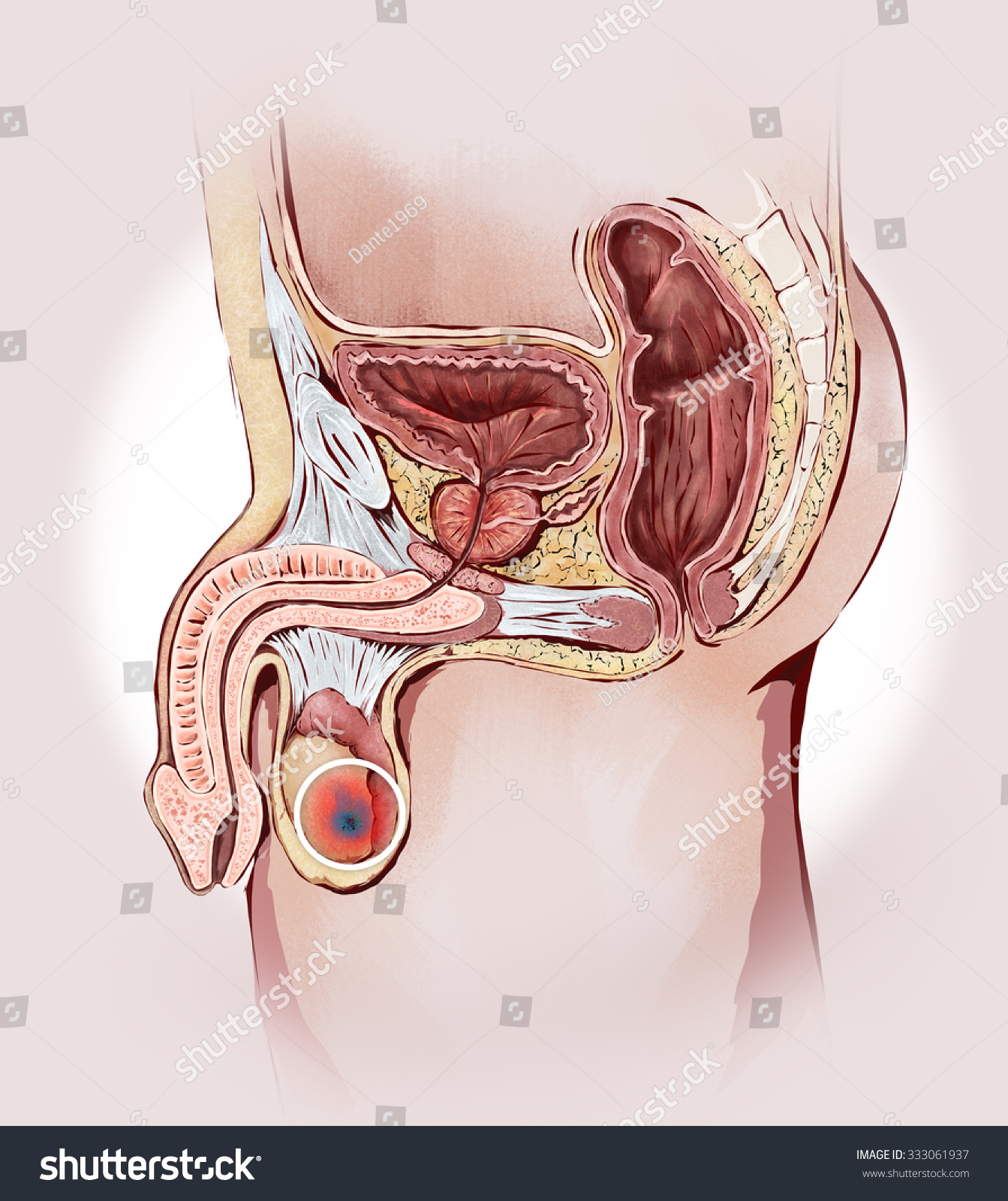 Testicular Cancer Prostate Male Sexual Organs Stock Illustration