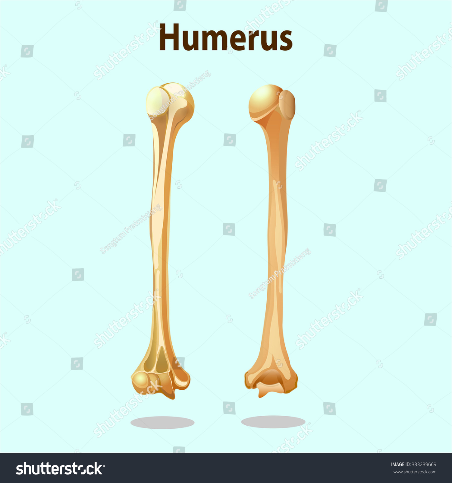 Anatomy Physiology Humerus Bones Element Vector Stock Vector