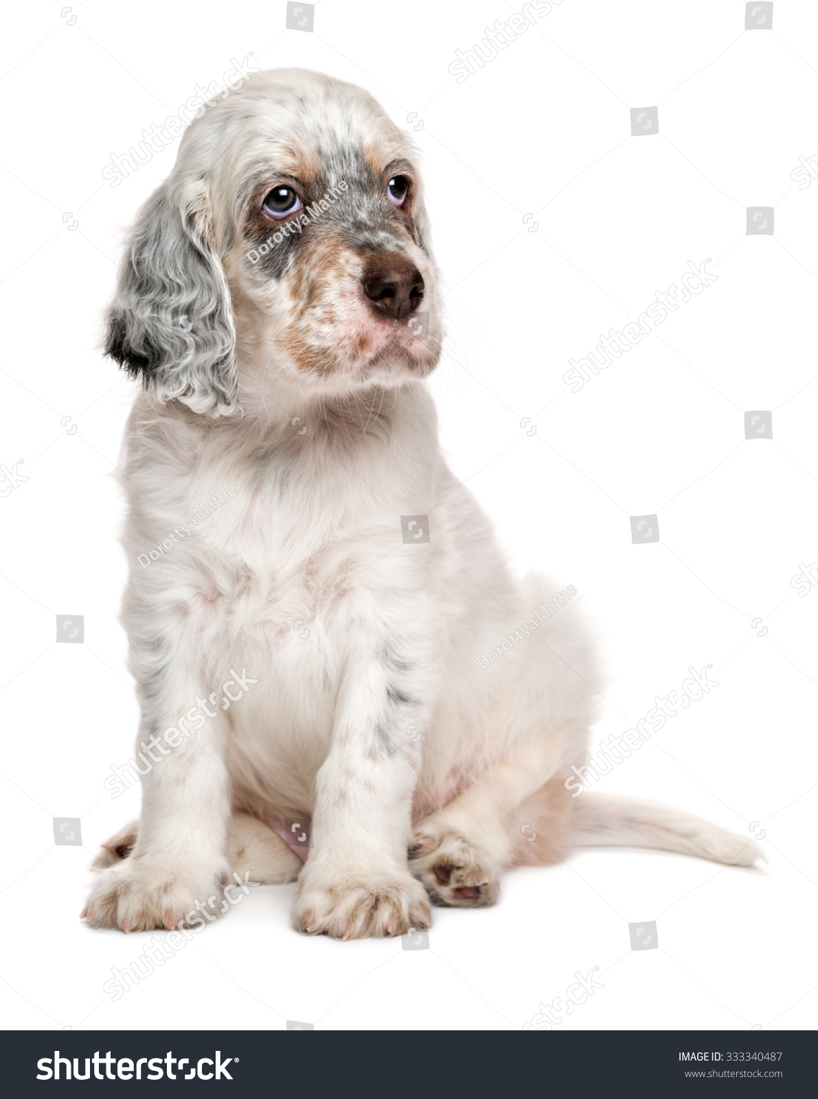 Cute Tricolor English Setter Puppy Dog Stock Photo (Edit Now