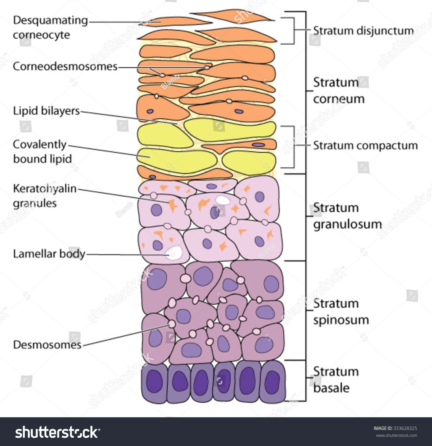 Detailed View Skin Layers Outermost Desquamating Stock Vektorgrafik