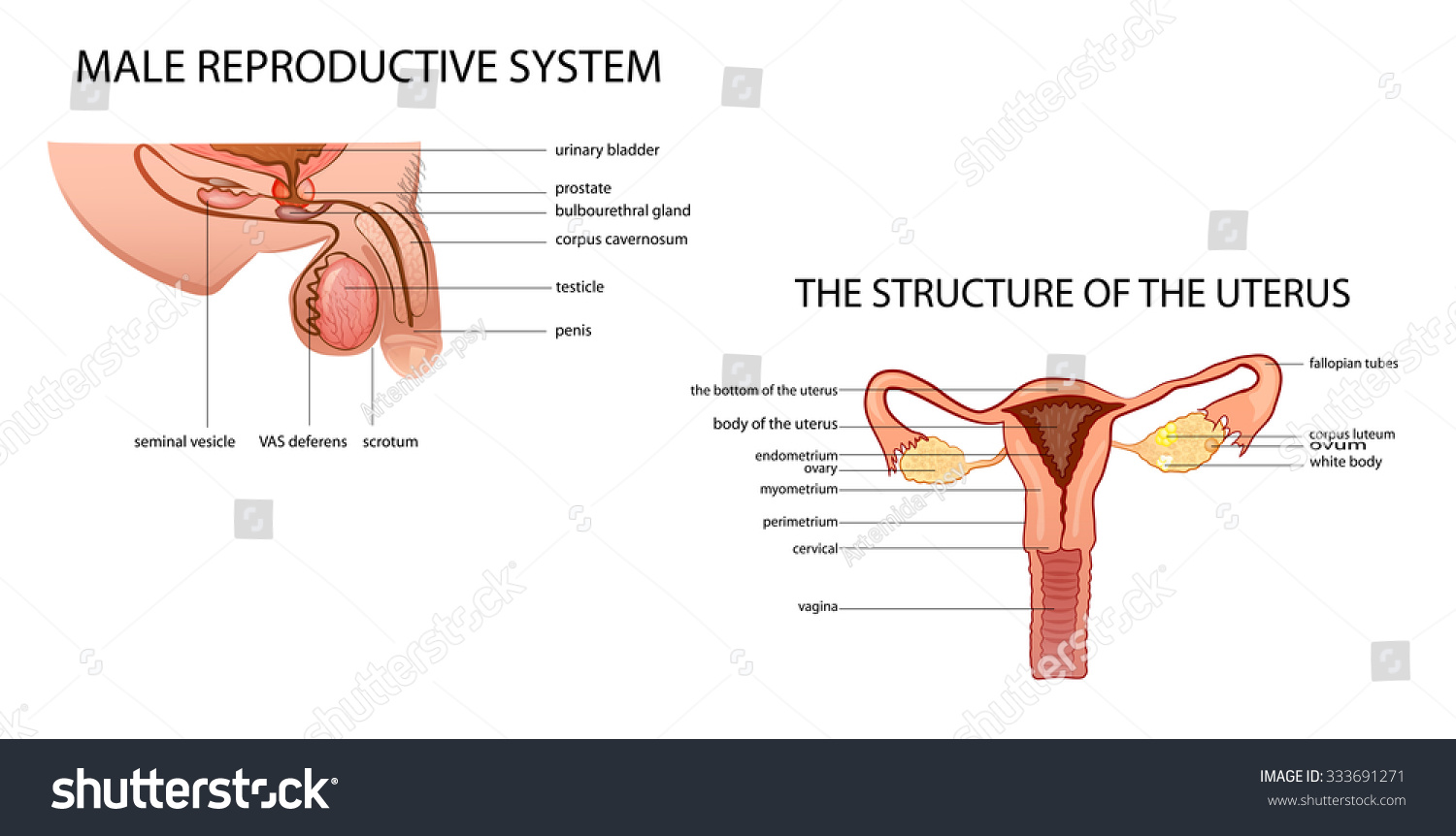 Anatomy Male Female Genitalia Stock Vector 333691271 Shutterstock