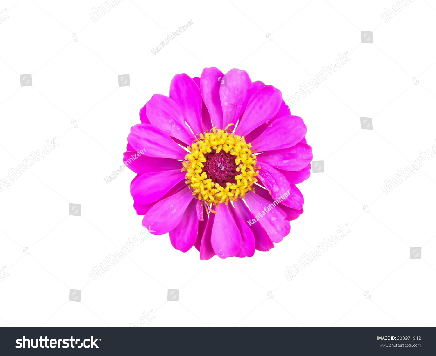 With Clipping Path Isolated Single Pink Flower Zinnia On White