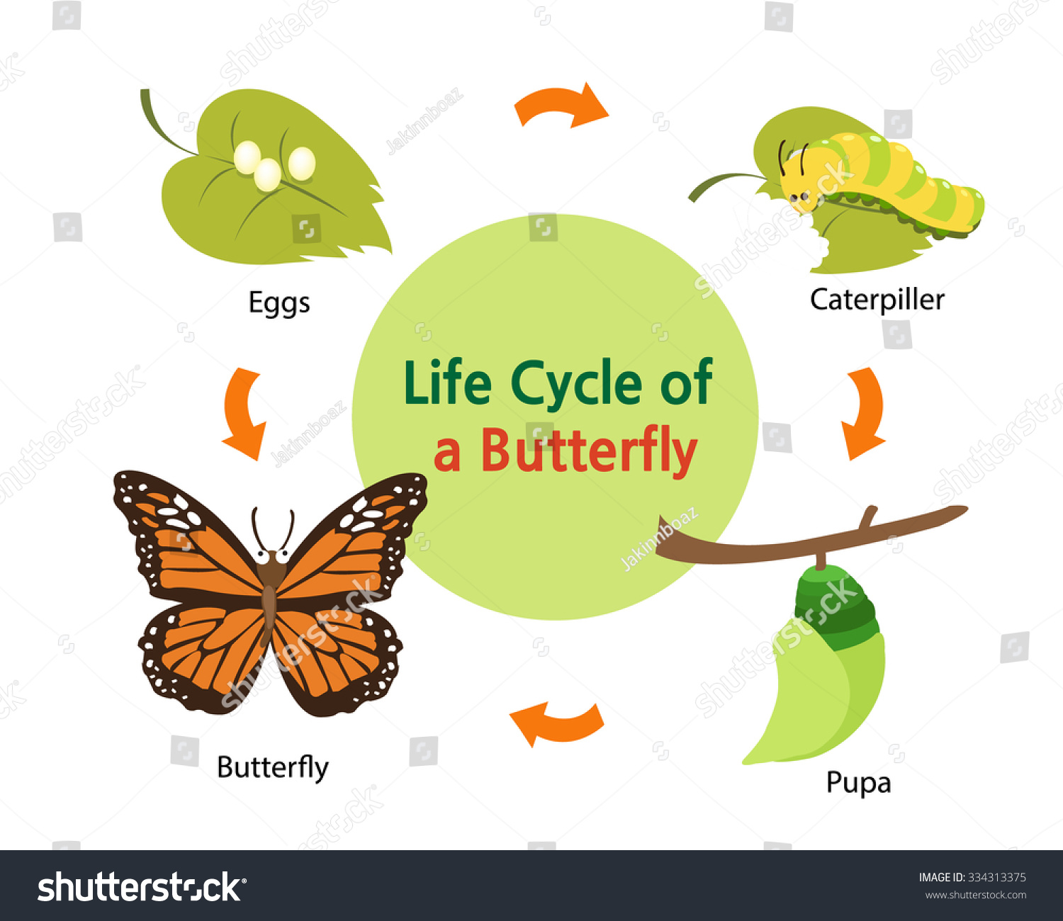This Picture Shows Life Cycle Butterfly Stock Vector 334313375 ...