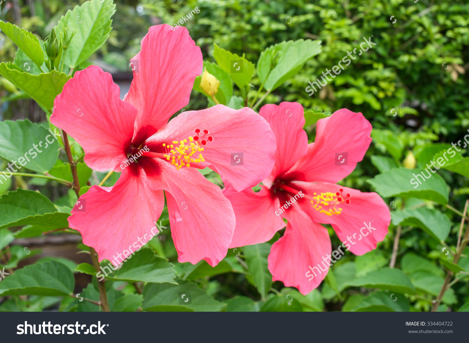 Red hibiscus flower scientific name hibiscus stock photo royalty red hibiscus flower scientific name is hibiscus syriacus l izmirmasajfo Image collections