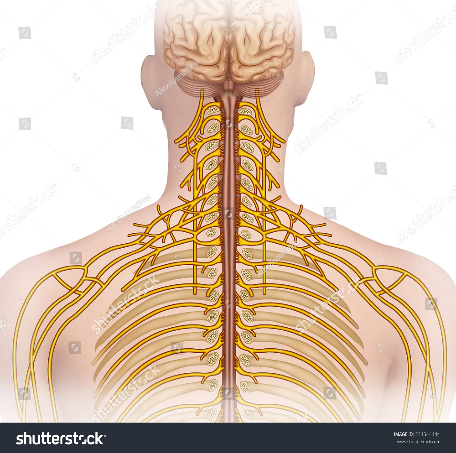 Descriptive Illustration Human Cervical Nerve Ramification Stock ...