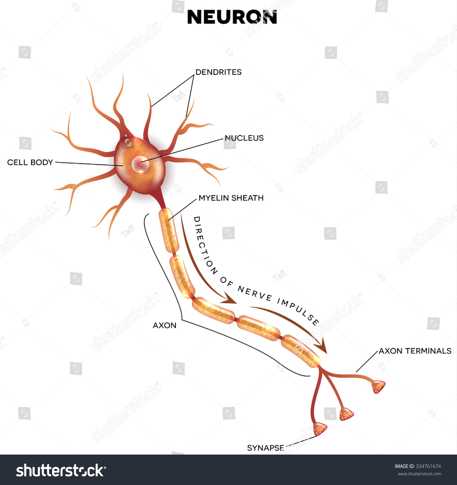 a description of the nervous system Nervous [ner´vus] 1 neural 2 unduly excitable or easily agitated nervous system the organ system that, along with the endocrine system, correlates the adjustments and reactions of an.