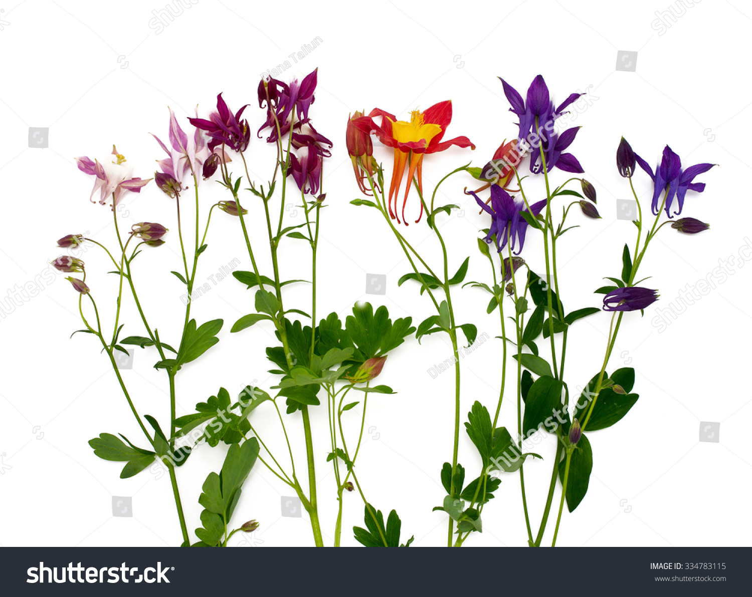 Columbine flowers different colors over white stock photo edit now columbine flowers of different colors over white izmirmasajfo
