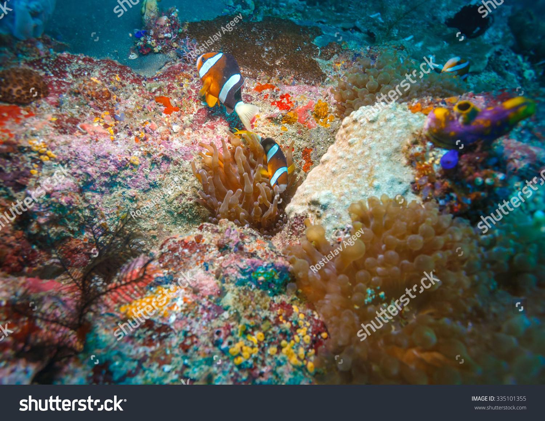 Underwater Landscape Anemone Fish Near Tropical Stock