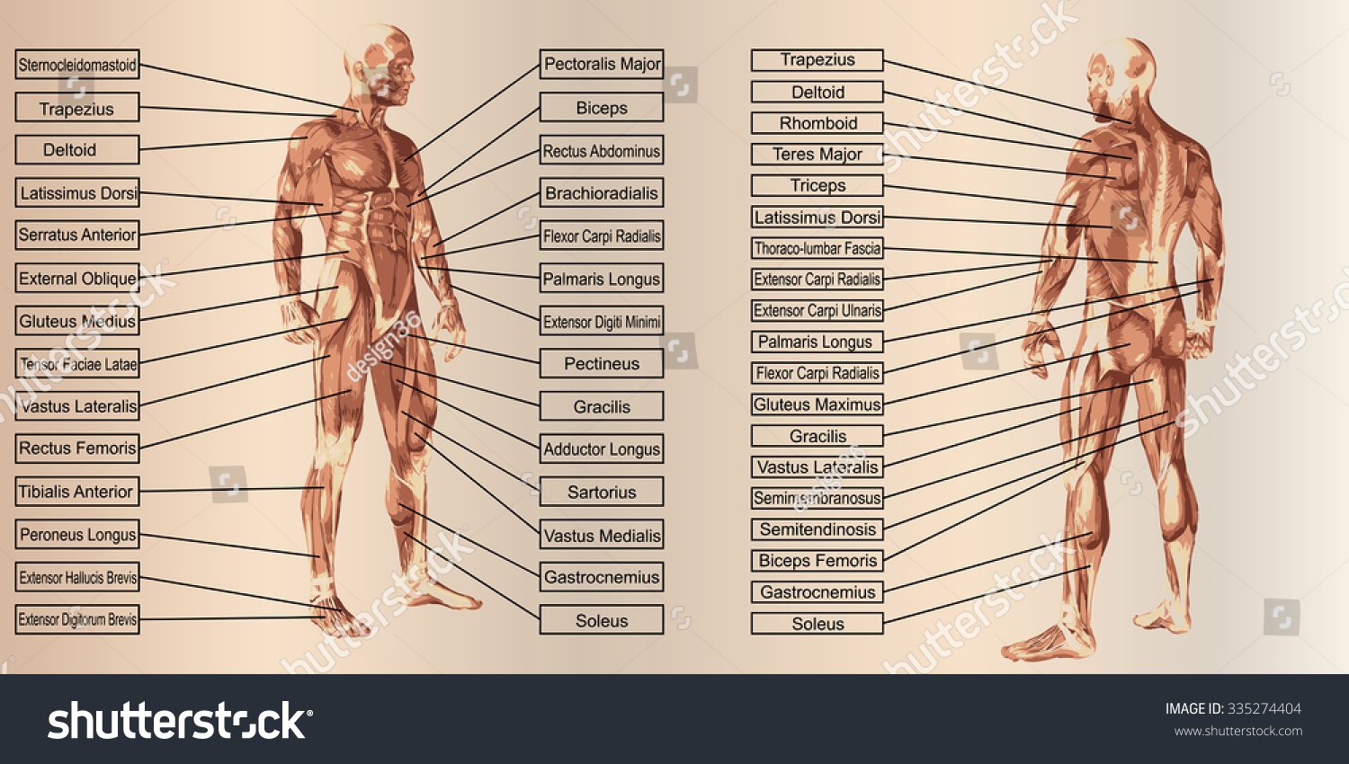 Concept 3 D Human Man Anatomy Muscle Stock Illustration 335274404