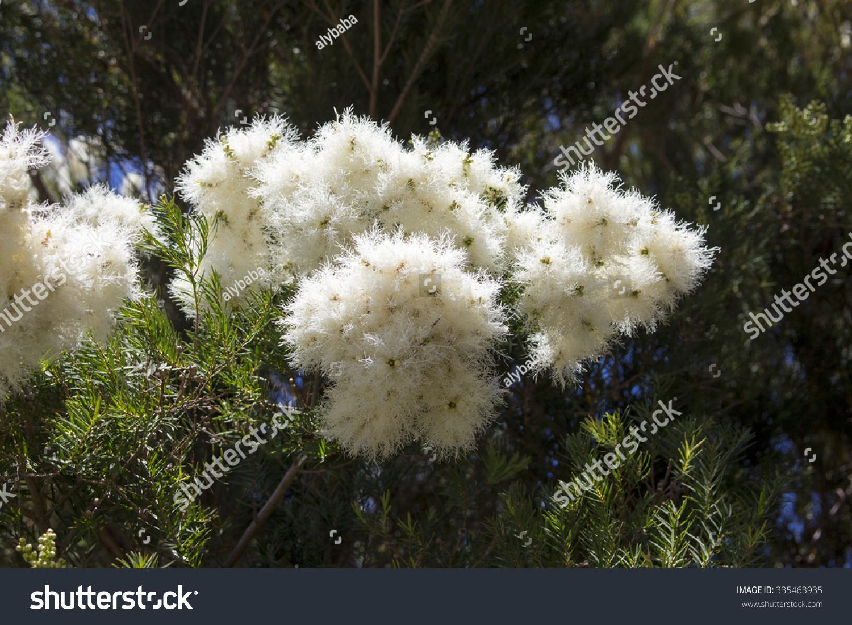 Royalty free masses of white fluffy flowers of 335463935 stock masses of white fluffy flowers of australian melaleuca linariifolia snow in summer mightylinksfo