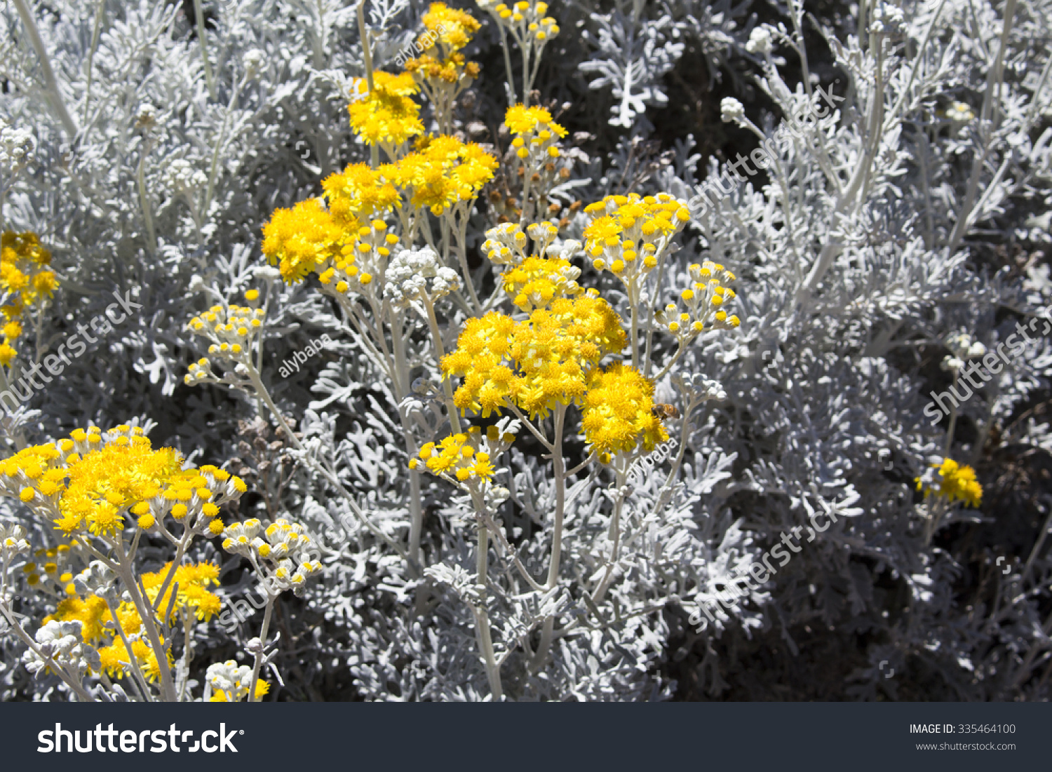 Bee on bright yellow flowers hardy stock photo edit now 335464100 bee on bright yellow flowers of hardy coastal plant senecio cineraria silver dust izmirmasajfo
