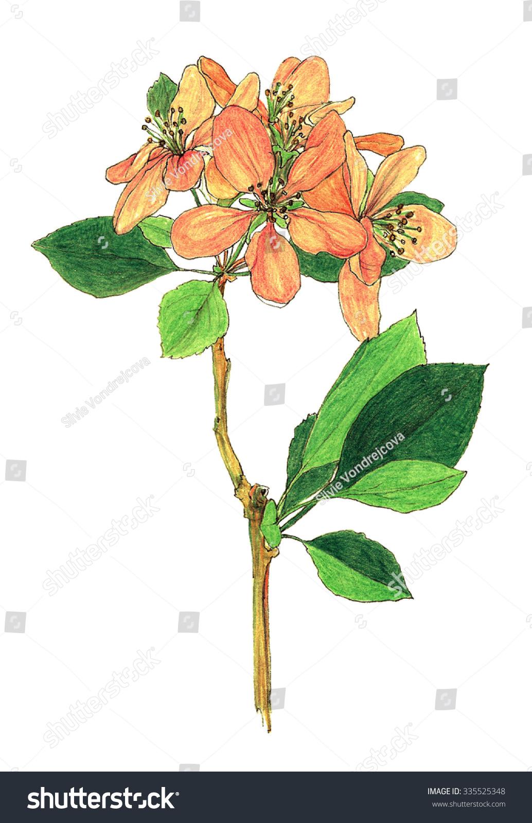 Flower Apple Tree Flowering Branch Color Stock Illustration ...