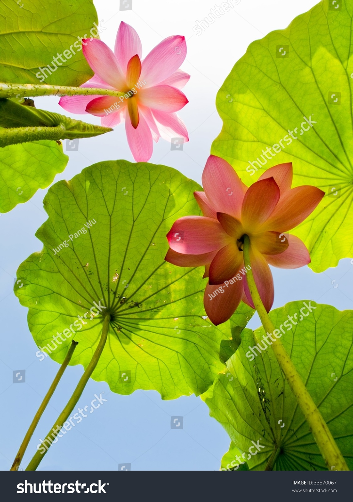 lotus flower charleston new best image flower of 2018
